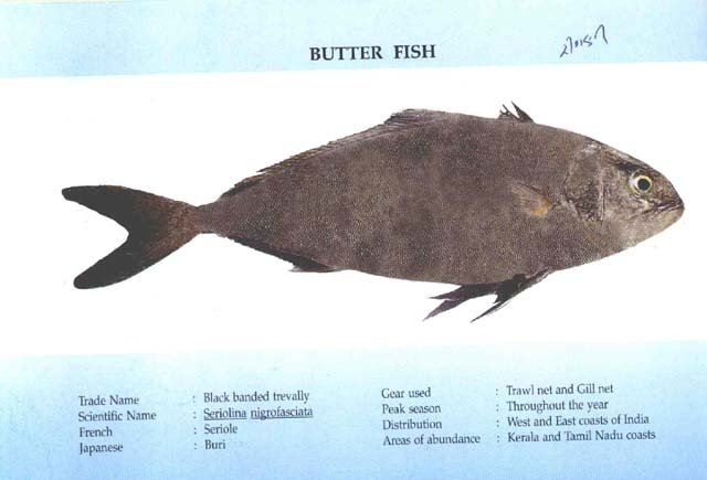 Butter fish products china butter fish supplier for Jamaican butter fish