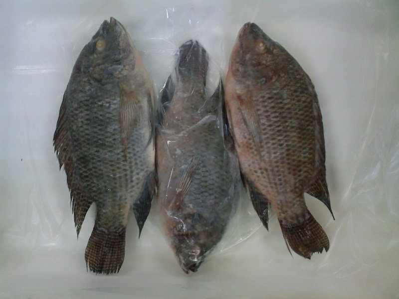 nile tilapia as an additive ingredient Feed additives in tilapia diets effect of using probiotic as growth promoters in commercial diets for monosex nile tilapia (orechromis niloticus) fingerlings.
