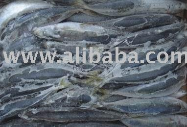Blue Mackerel scad