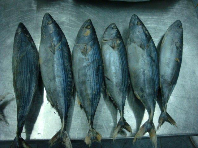 little tuny tuna ( bonito )