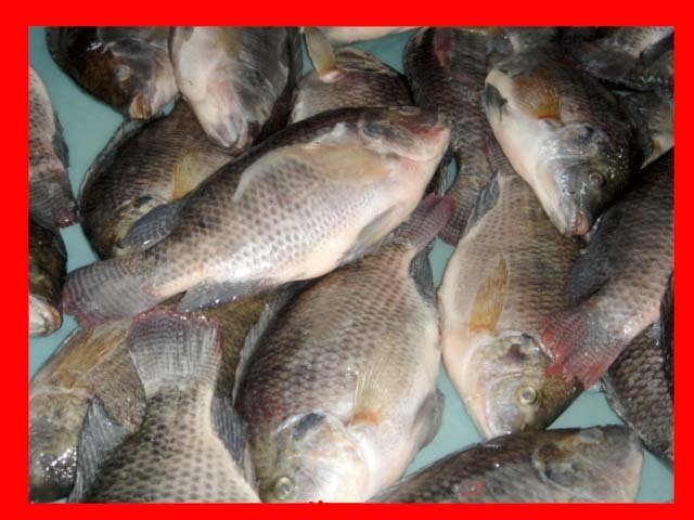 Frozen Fish - Tilapia