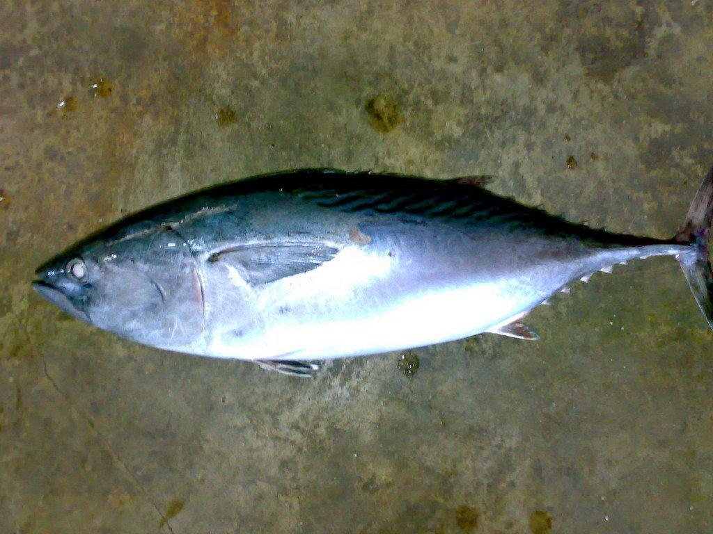 Eastern little tuna - photo#1