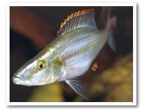 African Cichlid Fish