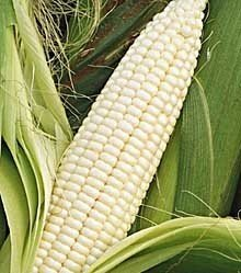 Pure White Corn Available