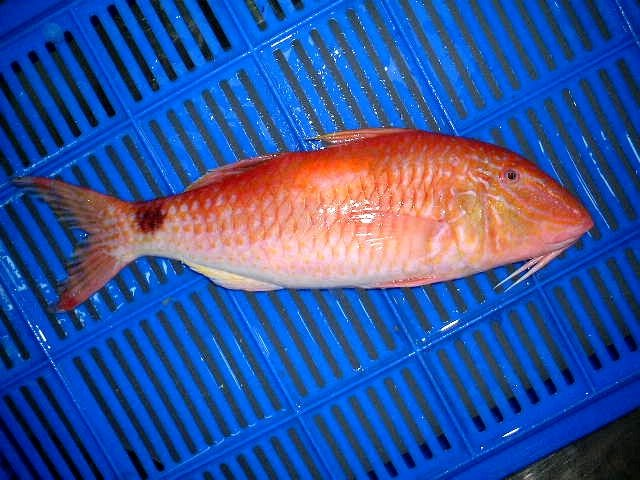Frozen red mullet fish for sale products cameroon frozen for Red mullet fish