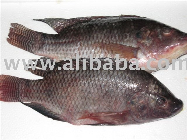 Frozen fish black tilapia products singapore frozen fish for What is tilapia fish