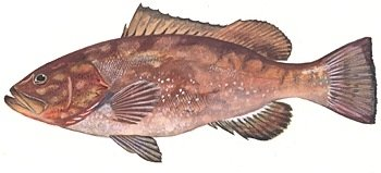 FROZEN RED GROUPER