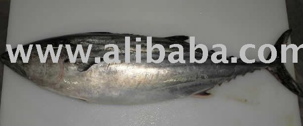 Skipjack  Bonito  whole frozen (Sarda sarda chilensis)
