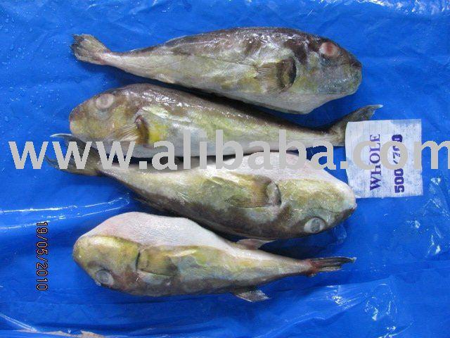 PUFFER FISH(GLOBE FISH)