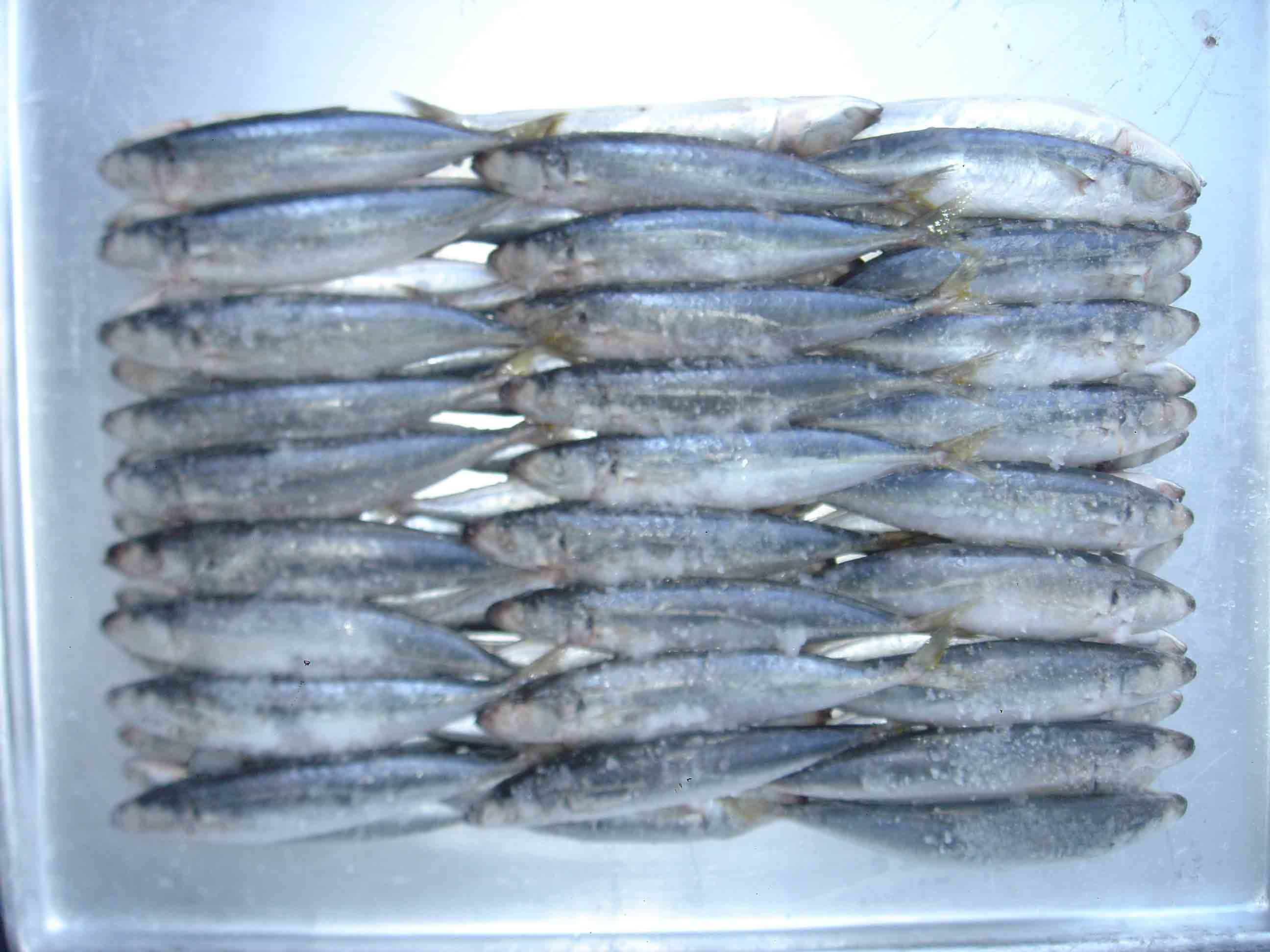 BLUE SCAD MACKEREL- ROUND SCAD FOR BAIT