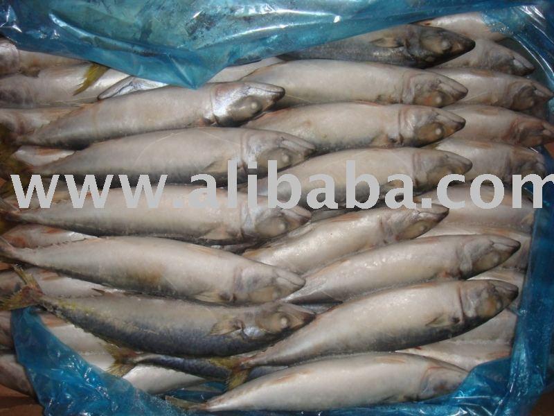 mackerel horse mackerel  bonito
