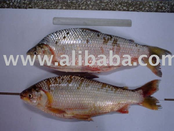 Sabalo (prochilodus lineatus) products,Argentina Sabalo ...