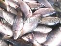 Fresh / Salt water fish