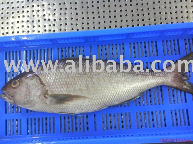 Green job fish aprion virescens products indonesia green for Pure fishing jobs