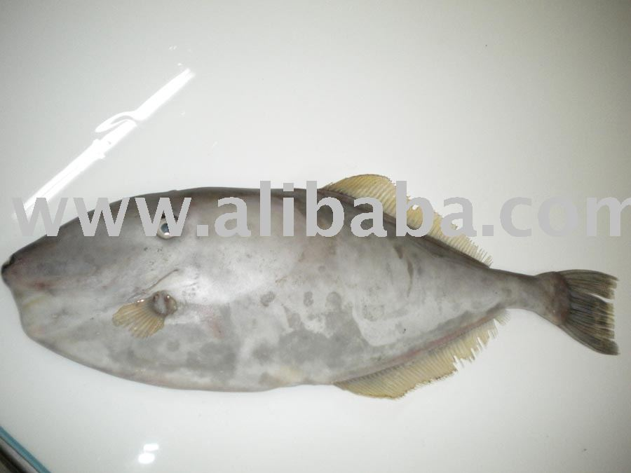 Leather jacket fish hl gutted skin off products india for Leather jacket fish