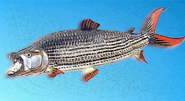 Tiger fish products thailand tiger fish supplier for Tiger fish pictures