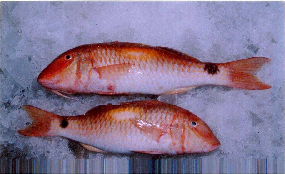 Fresh chilled fish red snapper et products india fresh for Red snapper fish