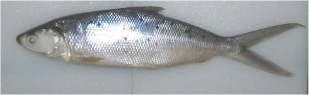 Milkfish (Chanos chanos)
