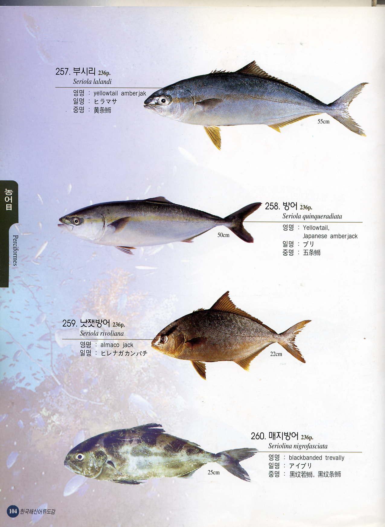 Frozen yellowtail fish products korea frozen yellowtail for Yellow tail fish