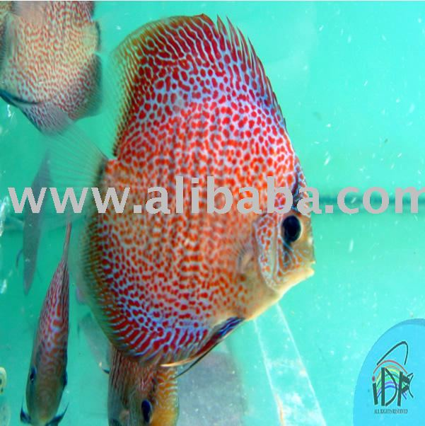 Super eruption 03 discus fish products malaysia super for Best place to buy discus fish