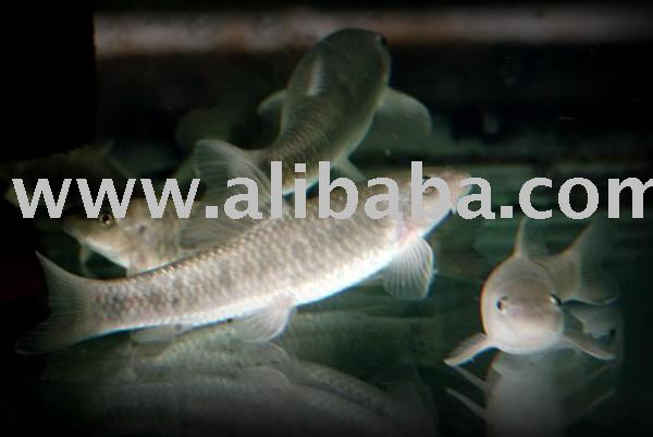 Dr fish garra rufa products indonesia dr fish garra rufa for Garra rufa fish