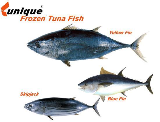 Skipjack tuna fish products iran skipjack tuna fish supplier for Making tuna fish