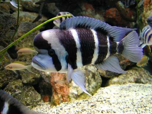 Tanghanyika's Cichlid Fish