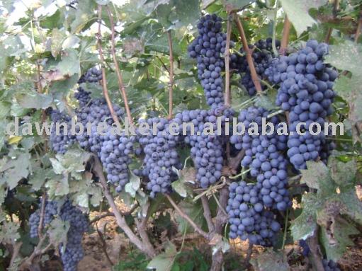 Fresh grape (grape /sweet grape )