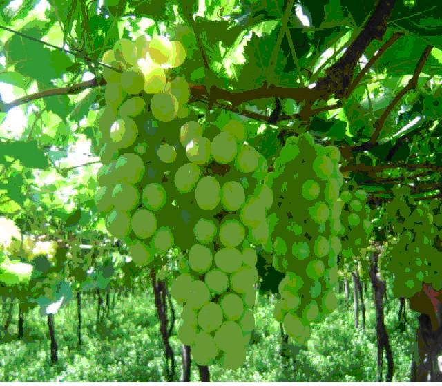 Grapes-Italia