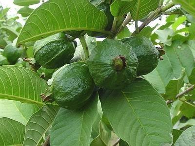 Premium Quality Guava