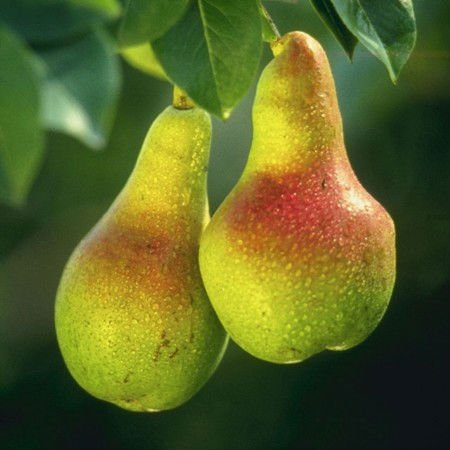 Ya pear for sale
