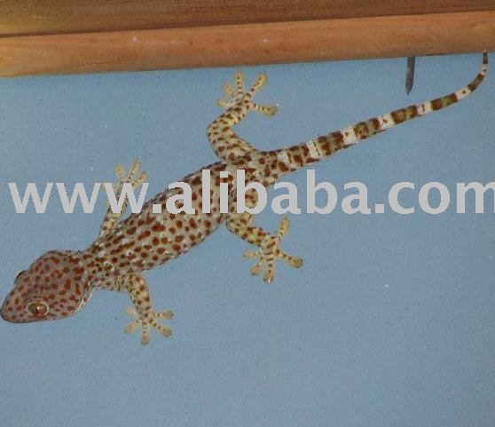 Tokay Geckos For Sale- 300 grams and above