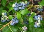 Bilberry / Vaccinium
