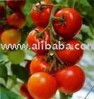 fresh tomato,canned tomato