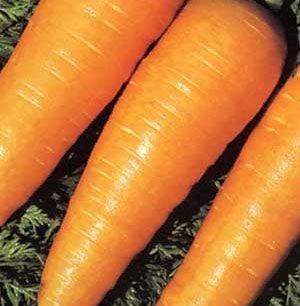 Organic Chantenay Red Core Carrot Seed