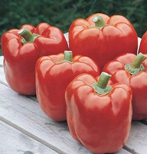 Red Knight Sweet Pepper Plant