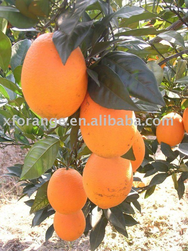 Gannan Fresh navel orange