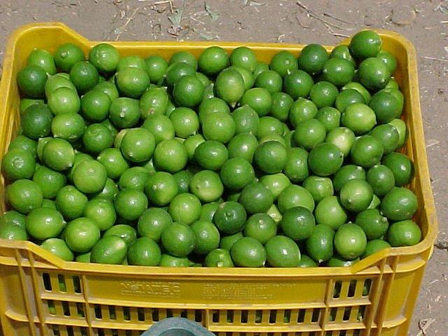 Image result for citrus aurantifolia