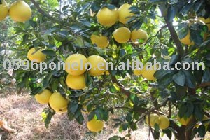 Citrus(China honey pomelo)