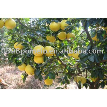 Citrus fruits fresh pomelo