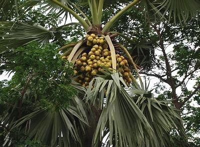 Asian Palmyra Palm