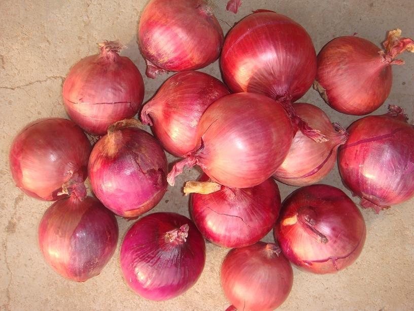 Fresh   New   Onion  China