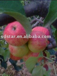 apple(fresh apple)