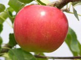 Paula Red Apples and other fruits for sale
