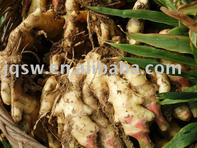 best quality fresh ginger