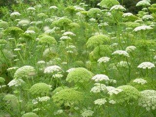 Bishop's Weed