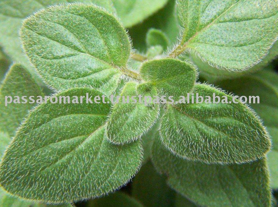Oregano products,India Oregano supplier