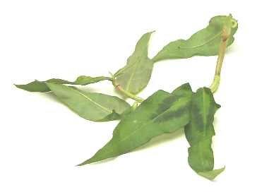 Laksa leaf