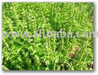 Growing Basil anb aromatic herbs available products ...