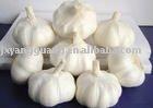Pure  white  garlic  with thick  skin
